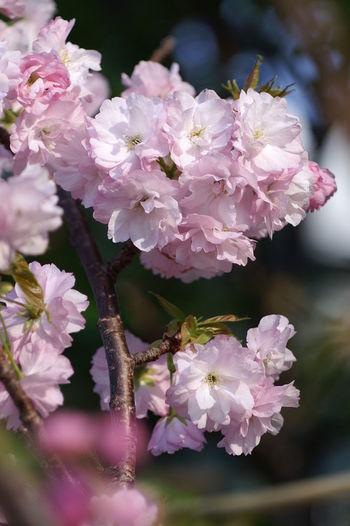 Sakura Tokyo,Japan サクラ 桜 ROKKOR Fujifilm X-E2 八重咲ざき