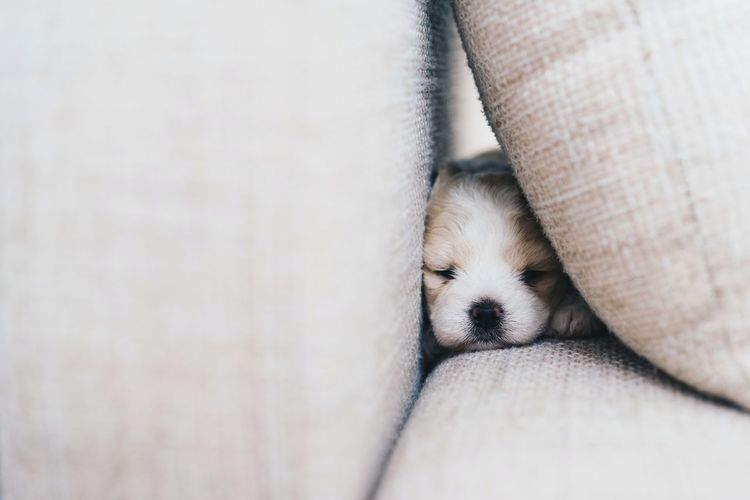 Close-Up Of Puppy Sleeping On Sofa At Home