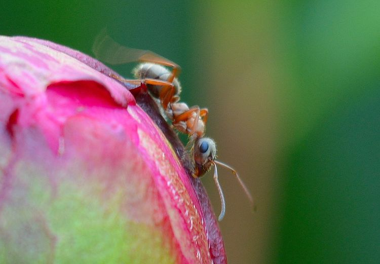 Close-up of ant on pink leaf