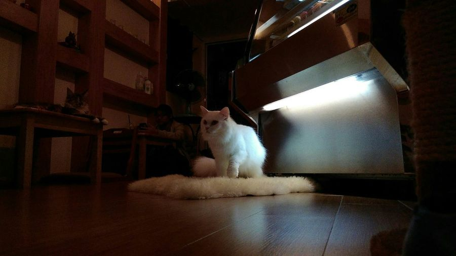Knead White Cats Fluffy Cat