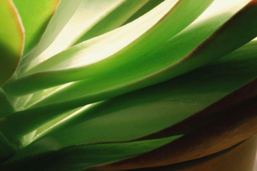 Macro Photography Closeupshots Succulents EyeEmNewHere Succulents, Cacti, Flowers, Cicek, Plants, Agaclar, Macros,#closeups, Photos, Photographers, Photography, Like4like, Likeforlike, Canon,  7d, Wonderful,#amazing, Awesome, Followme, Shot, Shots, Art, Arts Close Up Photography Close-up Green Color Plant Succulent Plant Plant Life
