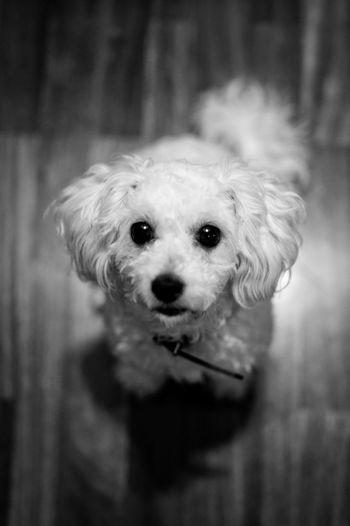 Argi Dog Pet Poodle Poodletoy Caniche Canichetoy Petportrait Portrait Lovely Bnw Blackandwhite Animal Eyes Pets Portrait Dog Looking At Camera Cute Puppy Close-up