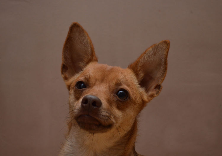 Adorable Animal Head  Animal Themes Close-up Dog Love Indoors  Kruising Pinscher Little Dog Looking At Camera One Animal Portrait