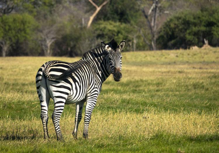 Zebra standing on field