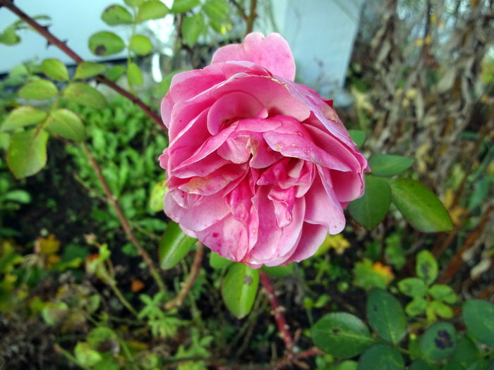 Beauty In Nature Blooming Close-up Daslebenistzukurzumtraurigzusein Day Drop Flower Flower Head Focus On Foreground Fragility Freshness Growth Nature No People Outdoors Petal Pink Color Plant Rose - Flower
