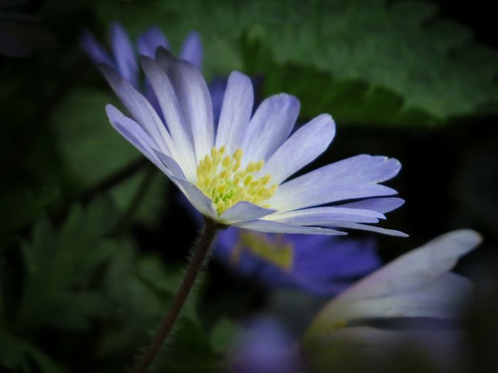 Flower Flower Head Beauty In Nature Nature Freshness Purple Close-up Growth Outdoors No People Fragility Day Petal Plant Anemone Yellow Flower Head Beauty In Everything Beauty Is Everywhere  Blurred Background From My Point Of View Springtime Spring Blossom Love To Take Photos Spring 2017