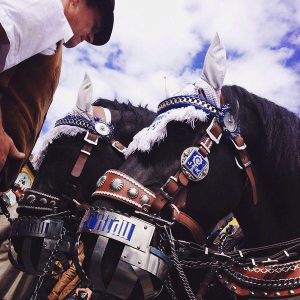 Oktoberfest Oktoberfest2015 Horses Haflinger Brauereipferde Augustiner