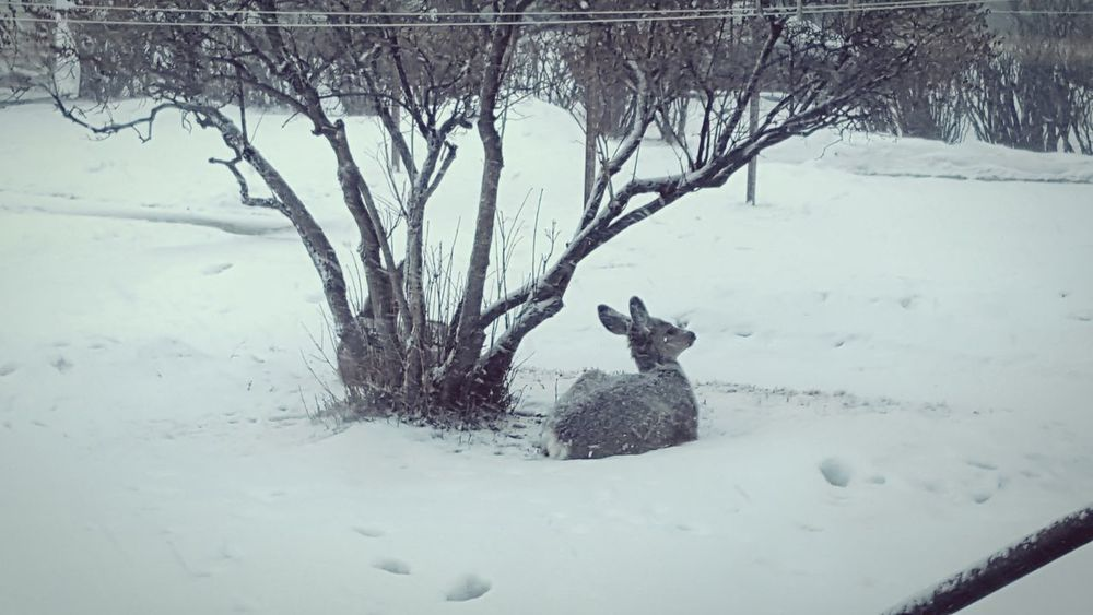 Winter Snow Cold Temperature Outdoors Animal Themes Deer Baby Deer Twin Deer Laying Down Resting Wildlife & Nature Wildlife Wildlife In The City Wildlife In My Backyard Winter Weather Snow Day Shades Of Winter