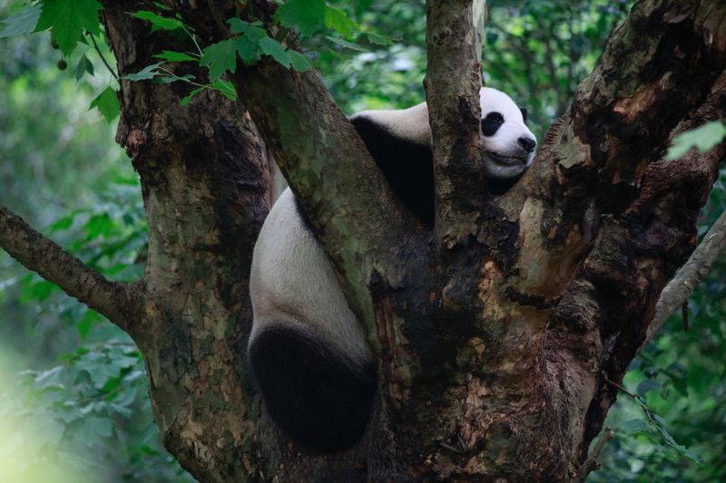Lazy panda Panda Life Slepping Sleepy Sleepy Panda Panda Lazy Life Vibes Tree Plant Animal Animal Themes Animal Wildlife No People Forest Outdoors Panda - Animal Nature Animals In The Wild