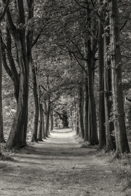 Avenue of trees in black & white Avenue Avenue Of Trees Beauty In Nature Blackandwhite Broadleaf Day Deciduous England Forest Monochrome Nature No People Outdoors Receding Road Scenics Shadow The Way Forward Tranquil Scene Tranquility Tree Tree Trunk Wood