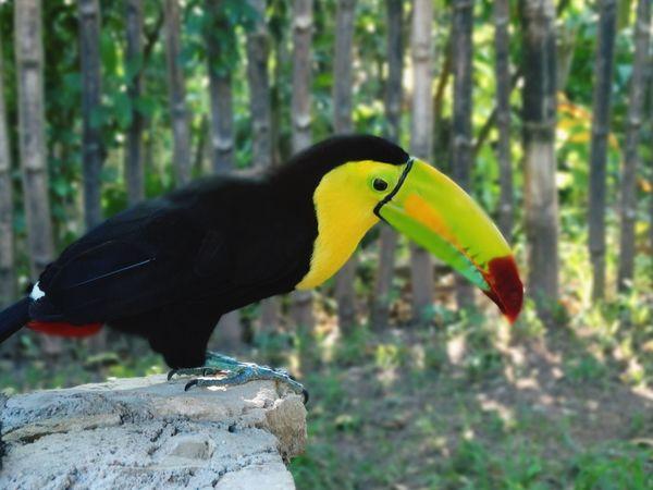 Tucán por México Lovethem♥ Animal EyeEm Nature Lover Tucan Mexico De Mis Amores Bird One Animal Animal Themes Animals In The Wild Animal Wildlife Beak Perching