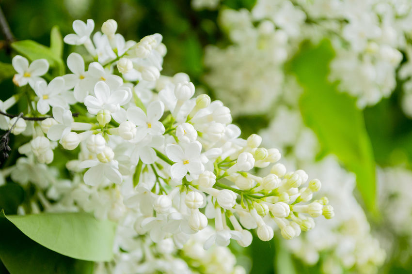 Bunch of White Lilac Beauty In Nature Botany Bunch Of Flowers Close-up Flower Flower Head Flowering Plant Focus On Foreground Fragility Freshness Growth Inflorescence Lilac Nature No People Petal Plant Selective Focus Vulnerability  White Color White Lilac