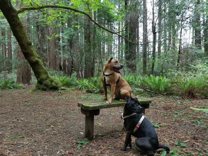 Pit bull terriers against trees at forest