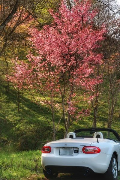 Car Tree Growth Springtime Beauty In Nature Nature Cherry Blossom Cherry Blossom Mazda Mx5 Miata Sky マツダ ロードスター 桜 サクラ Road Pink Color 春 Windingroad Spring Spring Flowers 空 朝