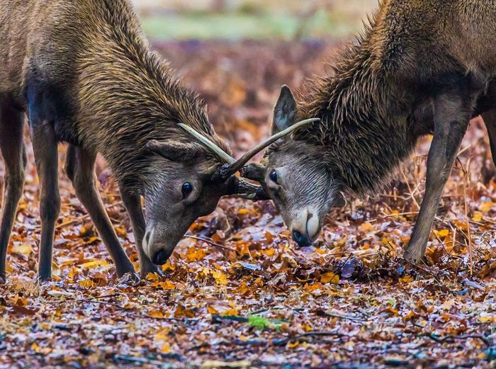 Stags fighting on field