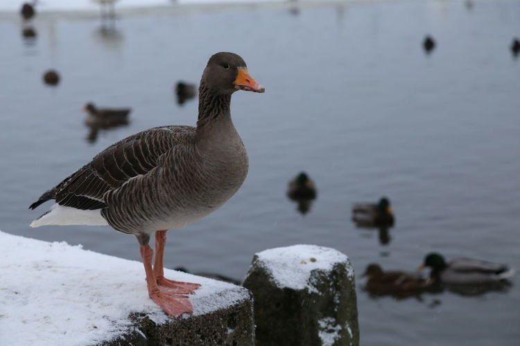 Close-up of duck on lake during winter
