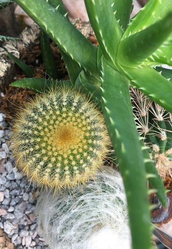 Cactus and aloe