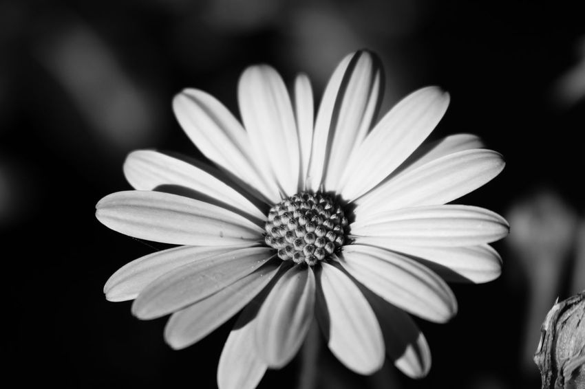 Flower Petal Flower Head Blooming Nature Fragility Pollen Growth Focus On Foreground Beauty In Nature Osteospermum Plant Freshness Outdoors Close-up No People Day Black-eyed Susan CRD Victoria Bc Victoria Yyj Blackandwhite Black & White