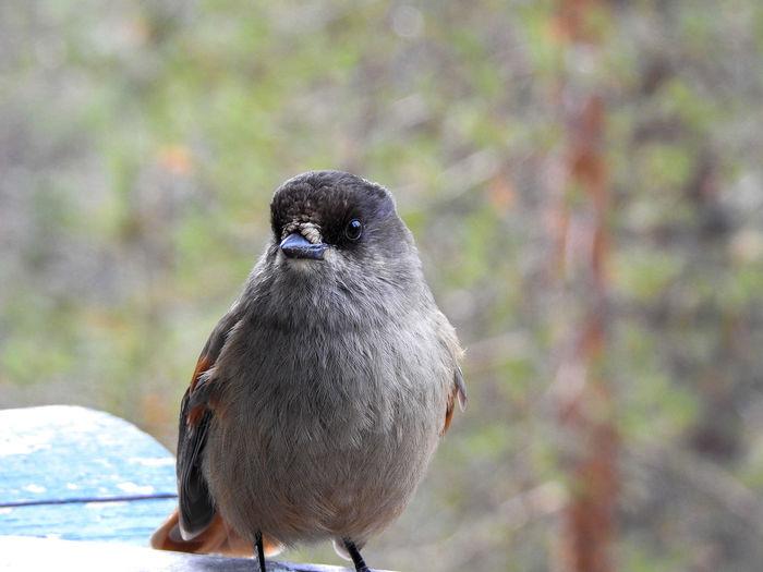 Finland Lapland, Finland Nikon Nikon Coolpix P900 Siberian Jay Cottage EyeEm Selects Bird Perching Cold Temperature Portrait Close-up