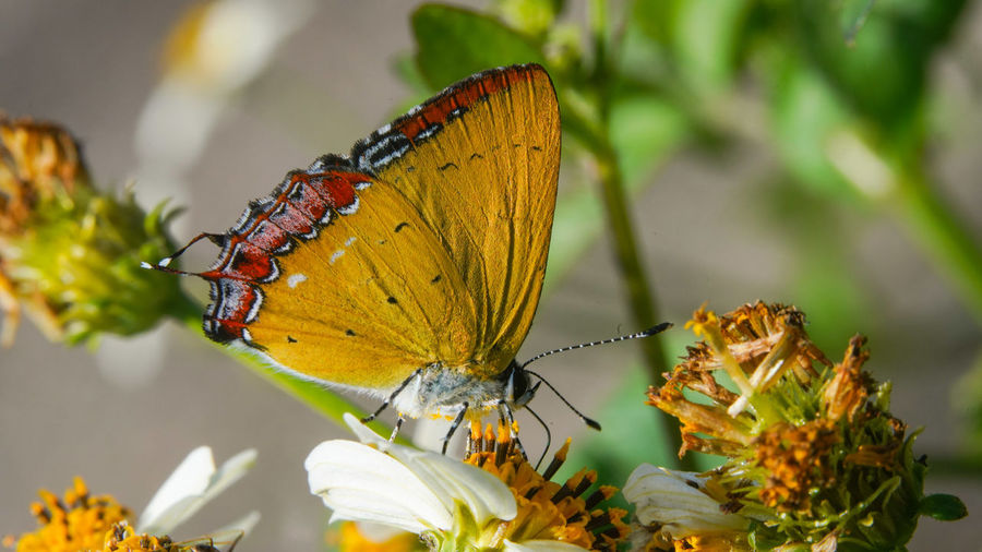 紅邊黃小灰蝶  Perching Flower Spread Wings Butterfly - Insect Leaf Full Length Insect Animal Themes Close-up Plant
