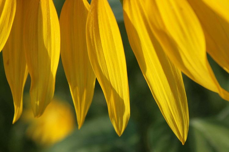 Rideaux Yellow