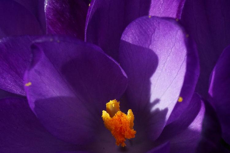 Full frame shot of purple crocus flower