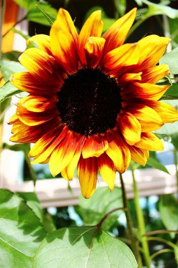 A firey Sunflower Sunflower Sunflowerlovers Sunflower, Blossoms, Flower, Bloom Sunflowersandsunshine Sunflowers🌻 Sunflowermagic Sunflowerpower Summer Flowers
