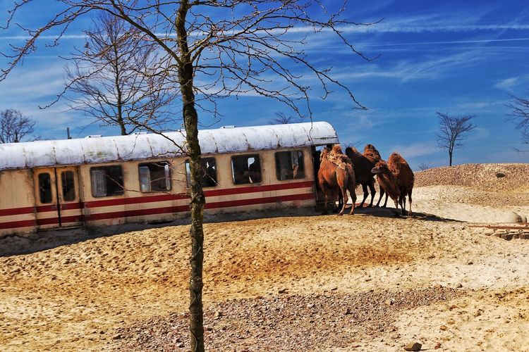 Bactrian camels standing by abandoned train on field against sky