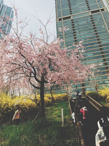 Urban Spring Fever Cherry Blossoms Love ♥ Buetiful... 😚