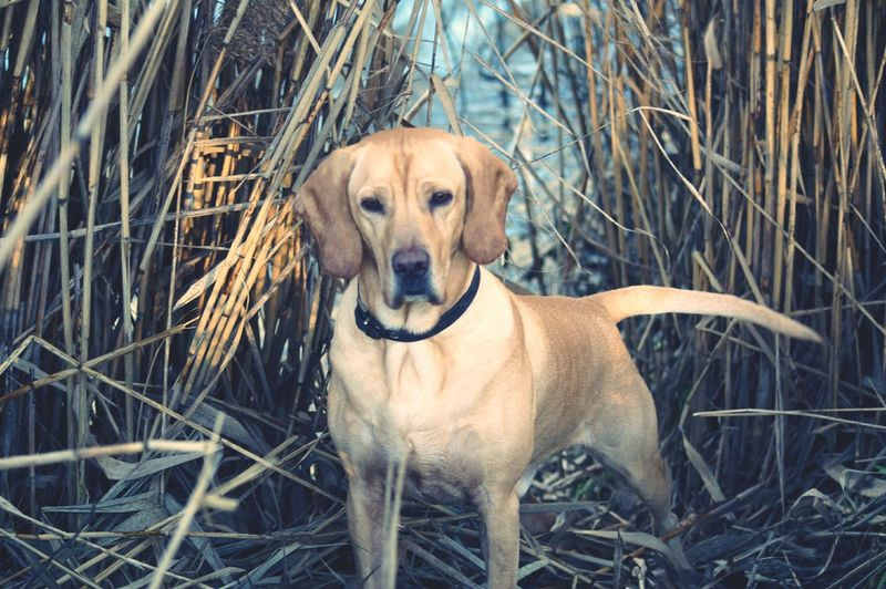 Domestic Animals Dog Animal Themes Nature Arkenberger Baggersee Boad Nice Hybrid American Gointer My Street Dog My Dogs Are Cooler Than Your Kids Doglover Golden Retriever Mix Dogs Nature Dogslife Turkiye Street Dog Pets Animal Hybrid Dog Berliner Ansichten