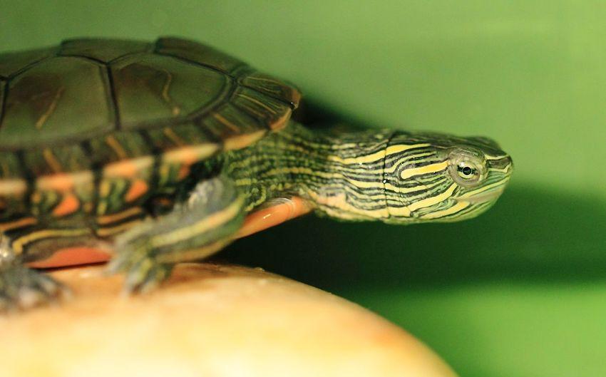Tortoise Animal