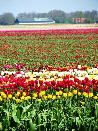Noordoostpolder Tulpenroute Taking Photos Tulpen