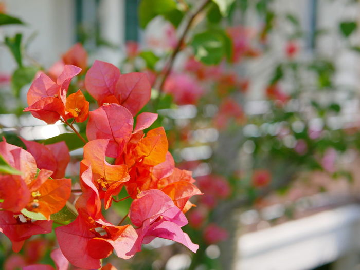 Selective focus of outdoor reddish orange Bougainvillea flowers planted outside to decorate a house Bougainvillea Flowers Decorate At Home Feung Fa Feungfa Blossom Nature Natural House Outdoor Petal Bright Afternoon Summer Refreshing Relaxing Nature Freshness Growth Flower Plant Selective Focus Reddish Orange
