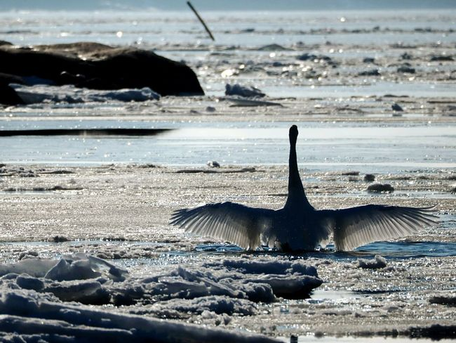 Sea Water Silhouette Wave No People Outdoors Beach Day Nature Beauty In Nature Snowy Sunlight Beautiful Nature One Animal Swan Winter Nature Outside Frozen Sea Bird Spreading Wings Swansea Nature Animal Wildlife Beauty In Nature Cold Temperature Animals In The Wild