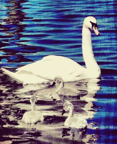 Swan Ducklings Theuglyduckling Animals In The Wild One Animal Animal Themes Bird Water Lake Swimming Animal Wildlife No People Water Bird Beak Nature Day Outdoors Close-up Security Tranquility EyeEmNewHere.