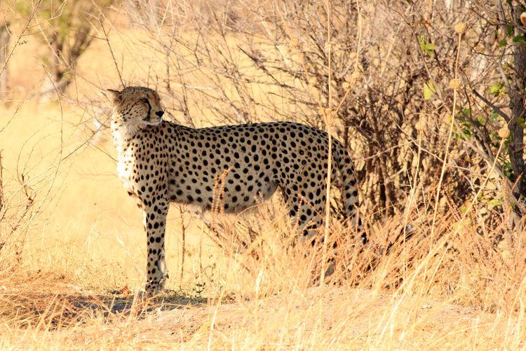 Animal Wildlife Animal Animals In The Wild Animal Themes Mammal Nature No People Day One Animal Safari Side View Full Length Spotted Big Cat Cheetah Bushveld Wildlife Wildlife Photography Animals In The Wild