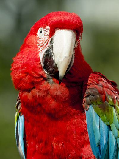 close up of a scarlet macaw (ara macao) Animal Themes Animal Wildlife Animals In The Wild Ara Ara Macao Beak Beauty In Nature Bird Close-up Day Focus On Foreground Macaw Nature No People One Animal Outdoors Parrot Red Scarlet Macaw