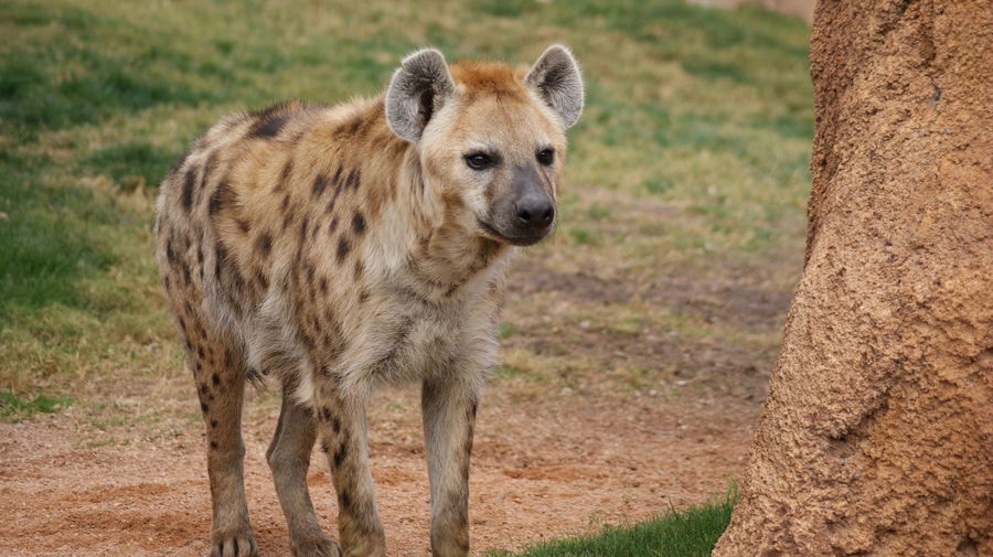 Hyena on grass