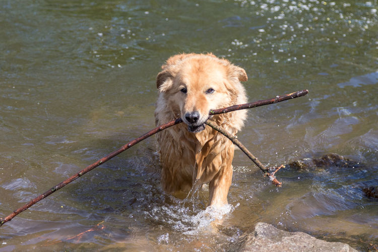Portrait of dog in river