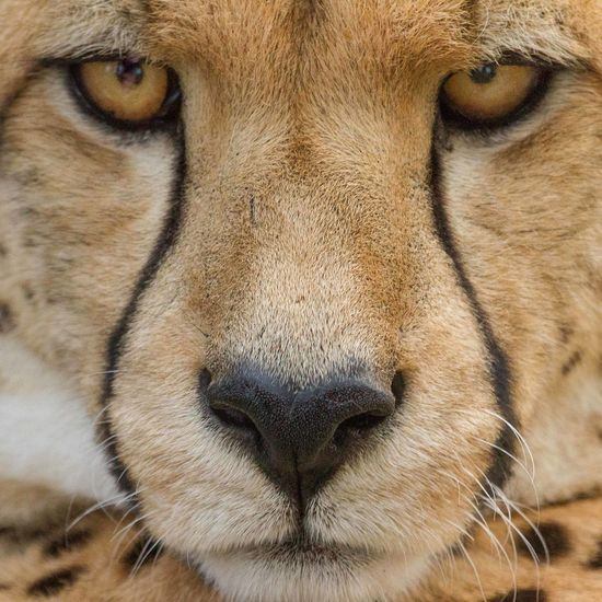 Focus Animal Body Part Animal Eye Animal Head  Animal Nose Animal Themes Animal Wildlife Animals In The Wild Cheetah Close-up Day Mammal Nature No People One Animal Outdoors Portrait