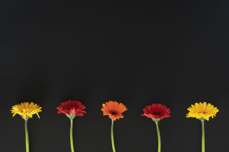 Five Gerbera Daisy's and against blackboard background with copy space. Copy Space Beauty In Nature Black Background Blackboard  Close-up Copy Space Copyspace Flower Flower Head Flowering Plant Fragility Freshness Gerbera Daisy Growth Indoors  Inflorescence Nature No People Petal Plant Studio Shot Vulnerability