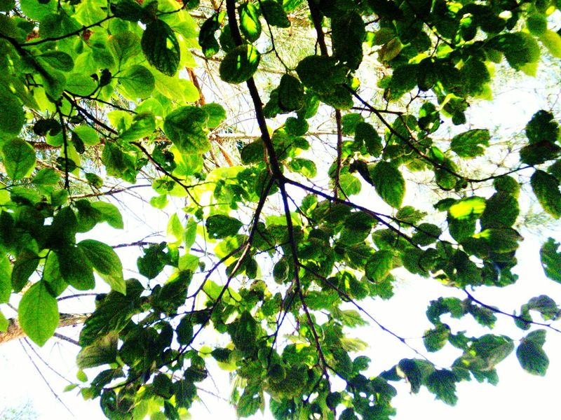 Leaves Taking Photos Simple Things In Life From My Point Of View Eye4photography  Nature_collection Nature Naturelovers Nature Photography Check This Out Naturephotography Walking Around EyeEm Nature Lover Light And Shadow Trees Light Through Leaves Light Trough The Trees Leaves_collection Things I Like EyeEm Gallery Relaxing Looking Up Naturelover Lights And Shadows Leaves And Sky