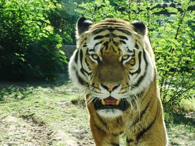 Animal Animal Head  Animal Themes Animal Wildlife Animals In The Wild Big Cat Carnivora Cat Day Feline Forest Mammal Nature No People One Animal Outdoors Plant Portrait Tiger Tiger Face Tree Vertebrate Whisker White Tiger Zoo