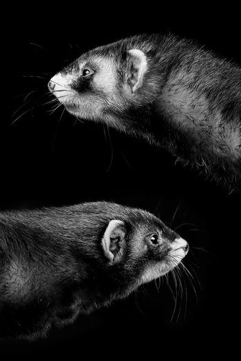 Ferret Animal