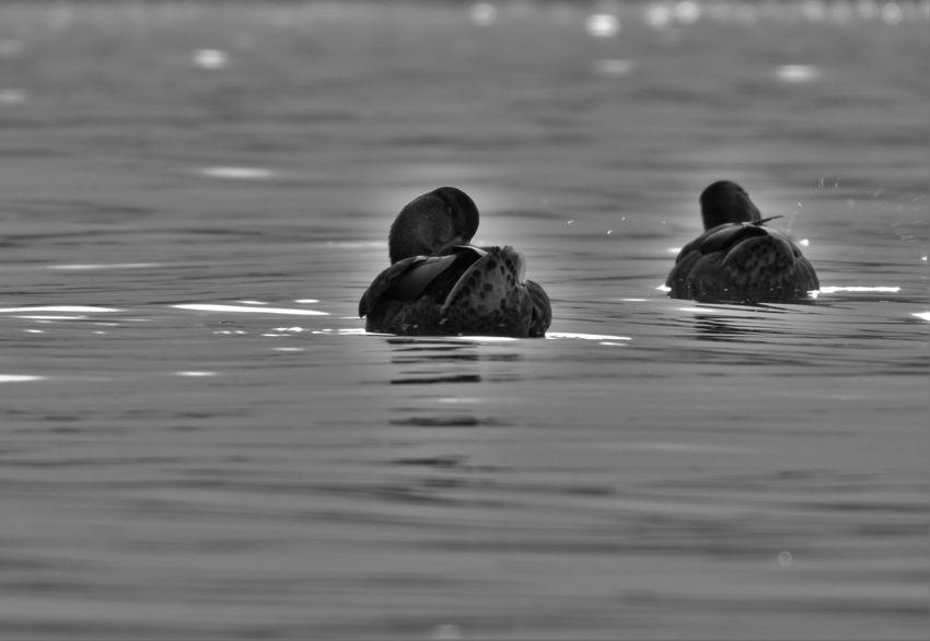 ducks Blackandwhite Bnw Monochrome Mirror Lake Lake Balaton Natural Water Water Swimming Bird Togetherness Reflection Duck