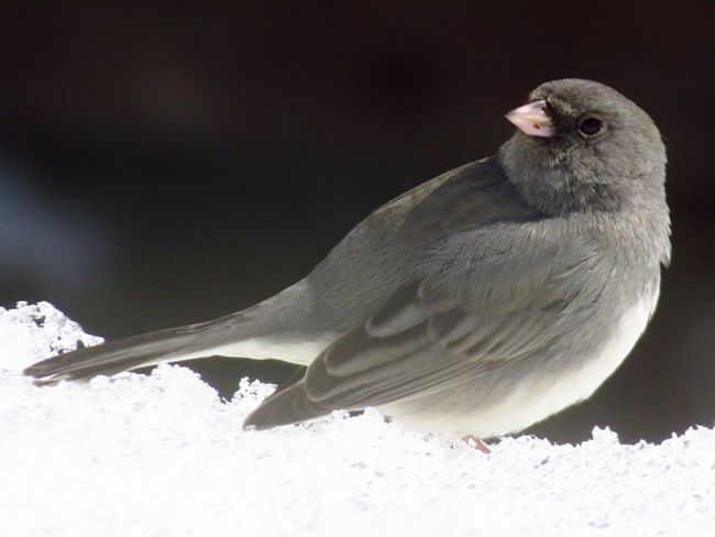Winter Cold Temperature Snow Bird Nature One Animal Animal Themes Animals In The Wild Animal Wildlife No People Outdoors Day Nature Darkeyedjunco Beauty In Nature