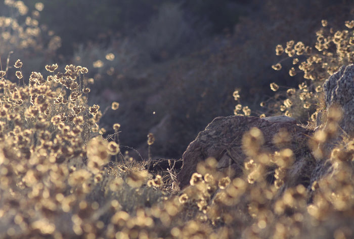 Helichrysum fragrances, sand dunes and salty air Beauty In Nature Close-up Day Dry Dry Flower  Everlasting Flower Fragility Golden Golden Hour Corsica Corse Helichrysum Immortal Italicum Macro Magic Nature No People Plant Rock Summer Summer Light Sunset Light Tranquility