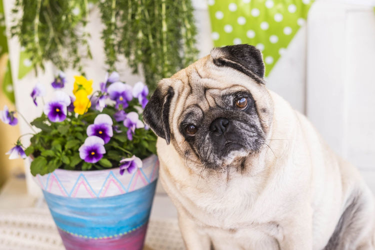 clear nice pug dog sitting on the chair near the plants Looking At Camera Waiting Animal Themes Carlino Pug Close-up Concentration Day Dog Domestic Animals Eyes Flower Fragility Hoping  Mammal Nature No People One Animal Outdoors Pets Pug Pug Dog Seriousness  Sitting Alone Sweetness