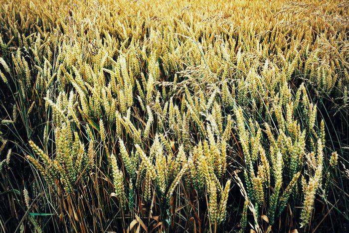 Color Palette Nature Scotland Landscapes Fieldscape Colour Of Life Gold Summertime Pivotal Ideas