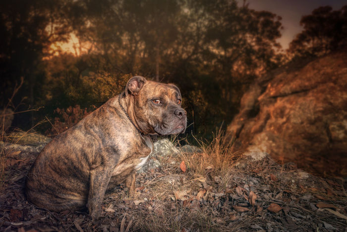 Suspicious Mind Animal Themes Animals In The Wild Brindle Brindle Dog Day Dog Evening Focus On Foreground Male Animal Nature No People One Animal Outdoors Pet Rocky Sunset Suspicious Wildlife